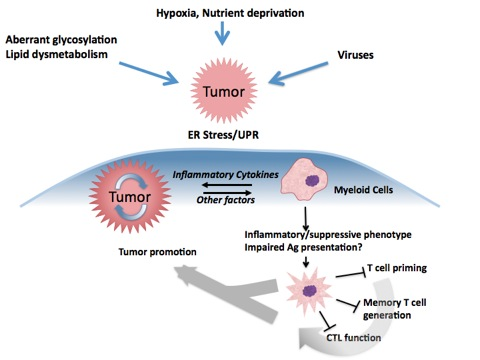 Er Stress Inflammation And Tumor Microenvironment